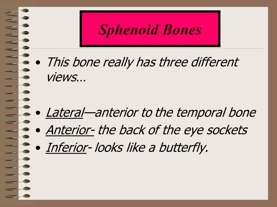 This bone really has three different views… Lateral—anterior to the temporal bone Anterior- the back of the eye sockets Inferior- looks like a butterf