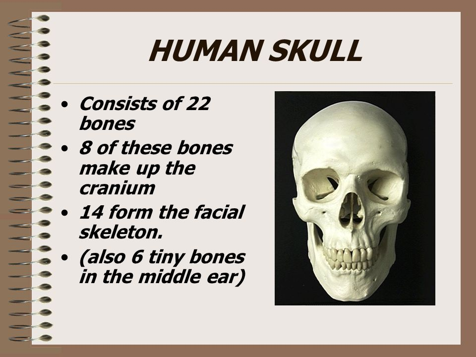 ZYGOMATIC BONES Responsible for the prominences of the cheeks below and to the sides of the eyes.