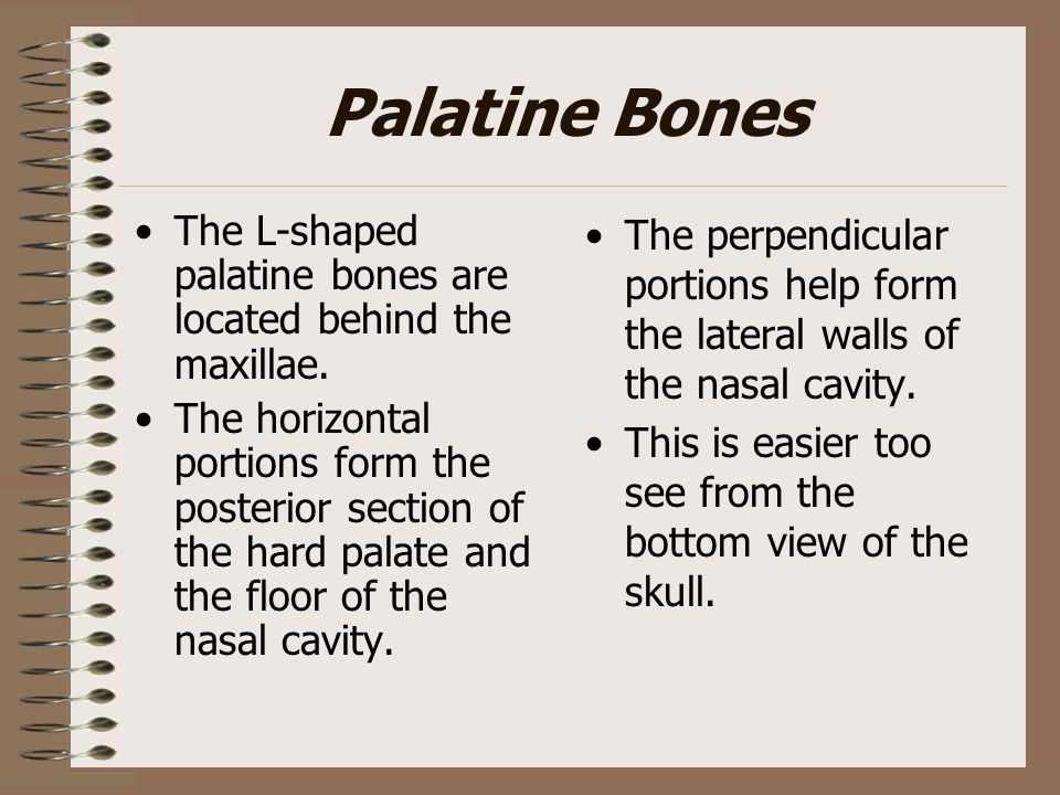 Palatine Bones The L-shaped palatine bones are located behind the maxillae. The horizontal portions form the posterior section of the hard palate and
