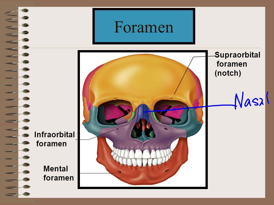 Foramen Supraorbital foramen (notch) Infraorbital foramen Mental foramen