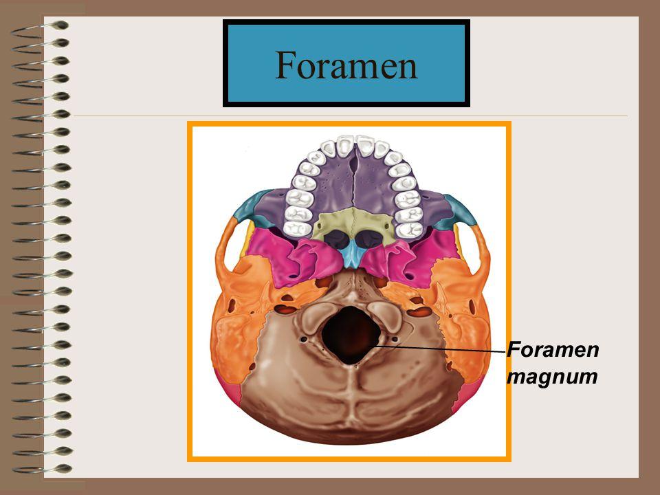 Foramen magnum Foramen