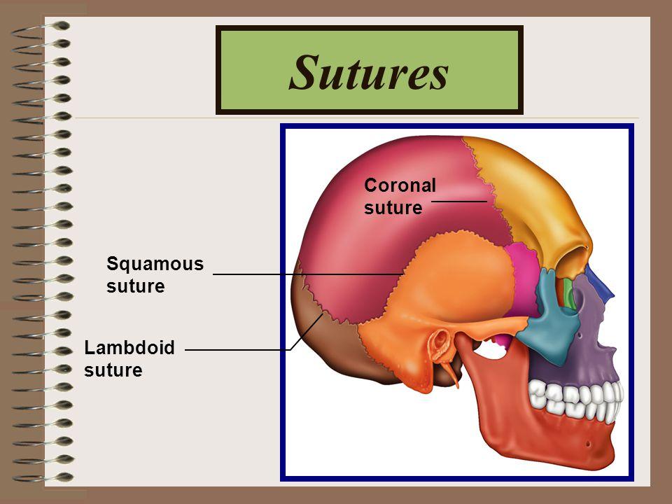 Sutures Squamous suture Lambdoid suture Coronal suture