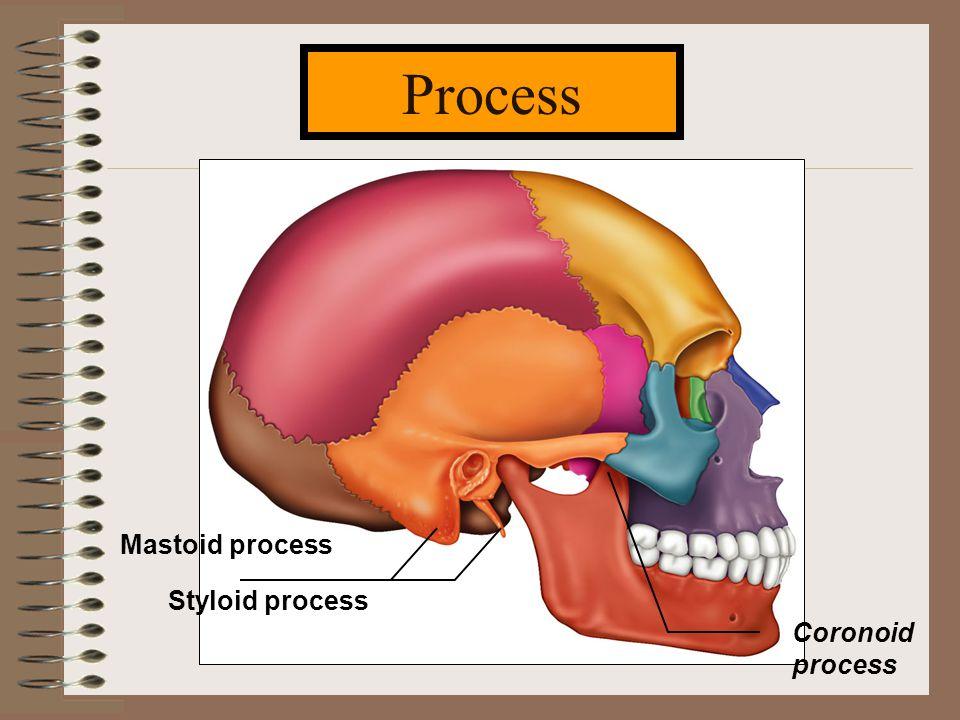 Process Styloid process Mastoid process Coronoid process