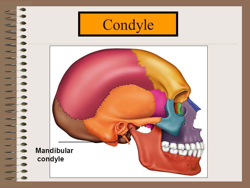 Condyle Mandibular condyle
