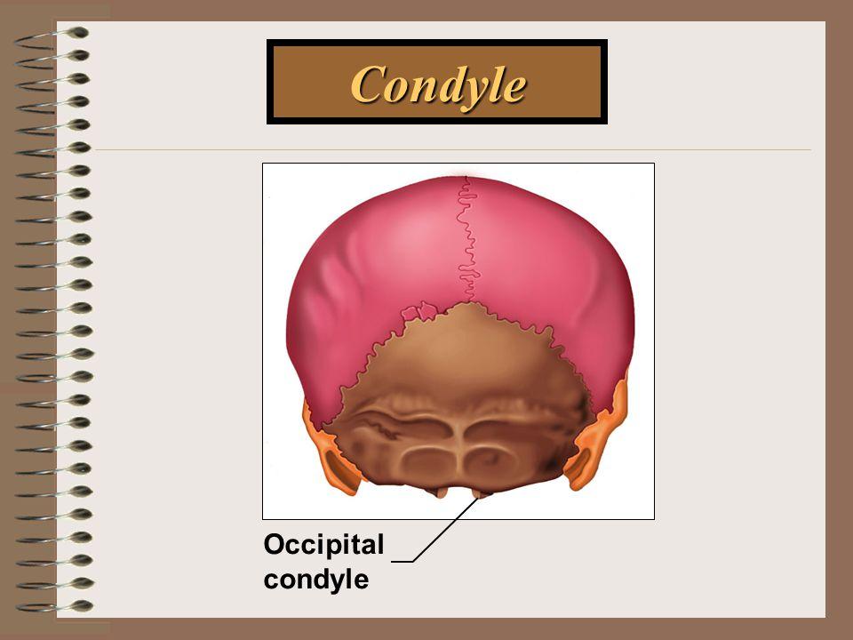 Condyle Occipital condyle
