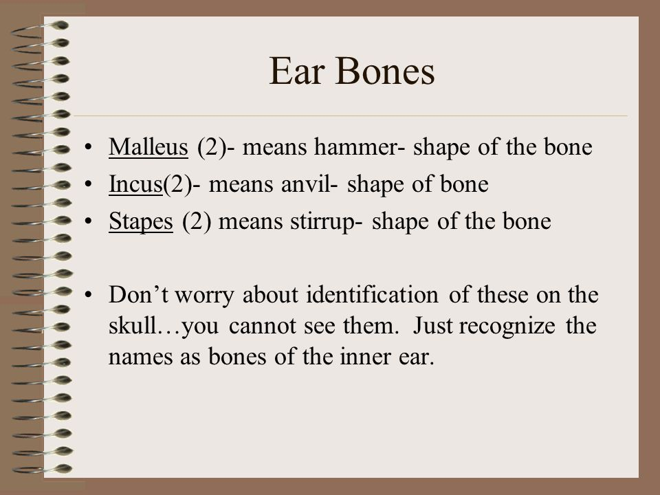 Ear Bones Malleus (2)- means hammer- shape of the bone Incus(2)- means anvil- shape of bone Stapes (2) means stirrup- shape of the bone Don't worry ab