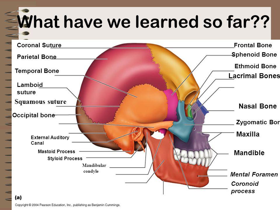What have we learned so far?? Occipital bone Temporal Bone Parietal Bone Frontal Bone Ethmoid Bone Sphenoid Bone Lamboid suture Coronal Suture Mandibl