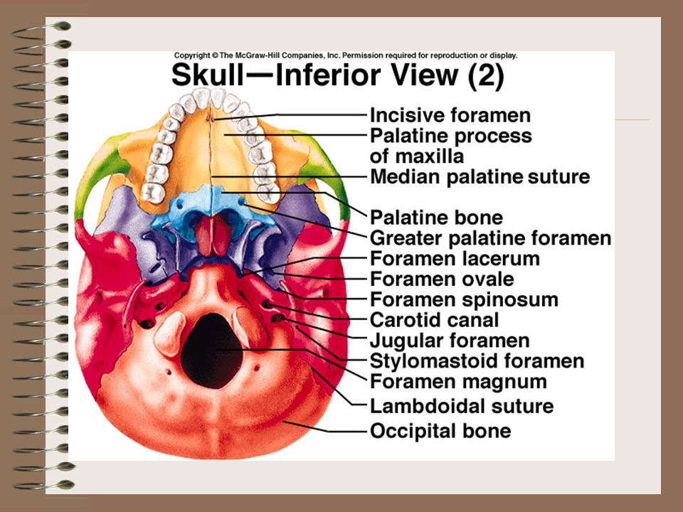 Inferior Nasal Cavity The inferior nasal conchae are fragile, scroll-shaped bones attached to the lateral walls of the nasal cavity.