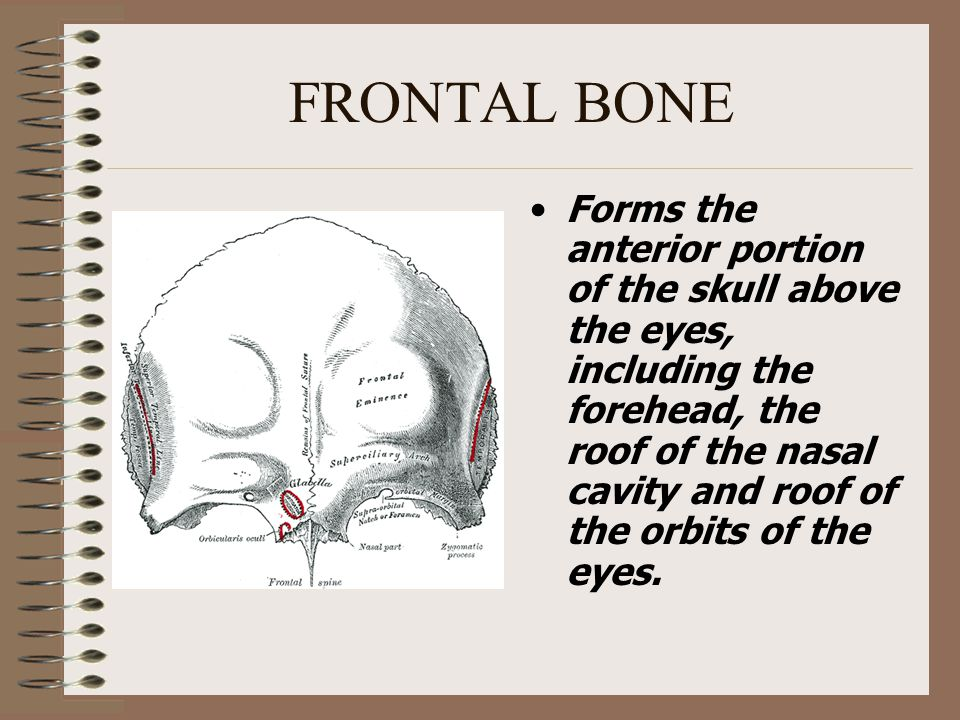 Parietal Bones The parietal bones (2) form, by their union, the sides and roof of the cranium.