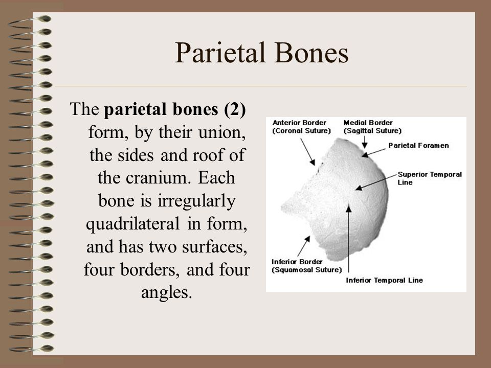 Inferior View Vomer Zygomatic bone Palatine bone Sphenoid bone