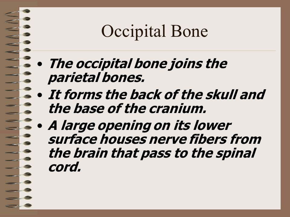 Occipital Bone The occipital bone joins the parietal bones. It forms the back of the skull and the base of the cranium. A large opening on its lower s