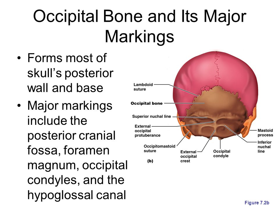Occipital Bone and Its Major Markings Forms most of skull's posterior wall and base Major markings include the posterior cranial fossa, foramen magnum