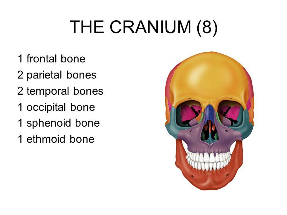 THE CRANIUM (8) 1 frontal bone 2 parietal bones 2 temporal bones 1 occipital bone 1 sphenoid bone 1 ethmoid bone