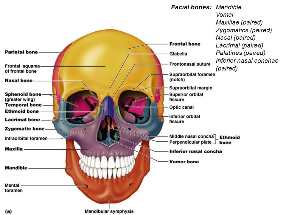 Mandible Vomer Maxillae (paired) Zygomatics (paired) Nasal (paired) Lacrimal (paired) Palatines (paired) Inferior nasal conchae (paired) Facial bones:
