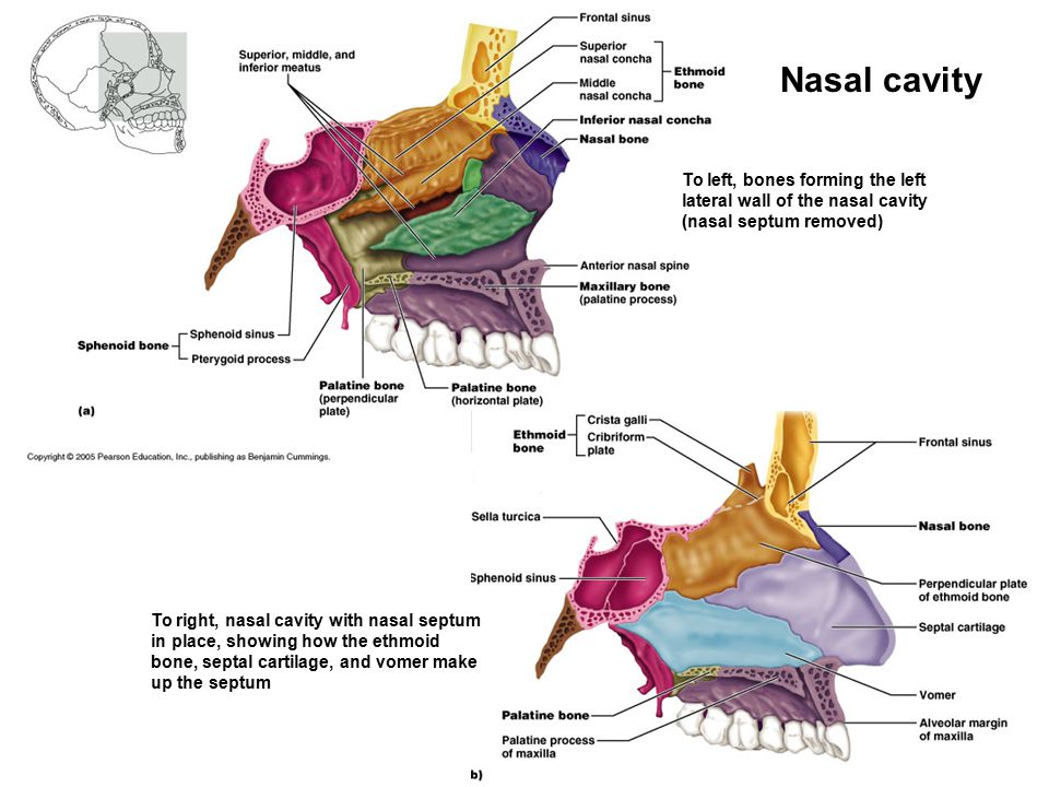 Nasal cavity To left, bones forming the left lateral wall of the nasal cavity (nasal septum removed) To right, nasal cavity with nasal septum in place, showing how the ethmoid bone, septal cartilage, and vomer make up the septum