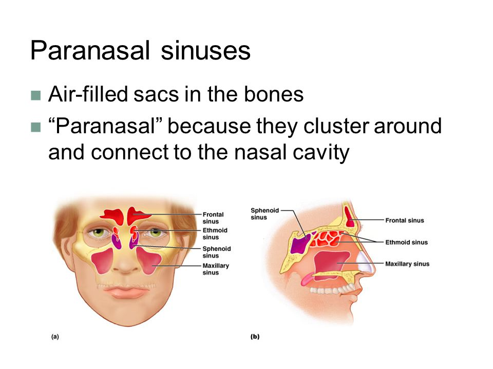 Paranasal sinuses Air-filled sacs in the bones Paranasal because they cluster around and connect to the nasal cavity