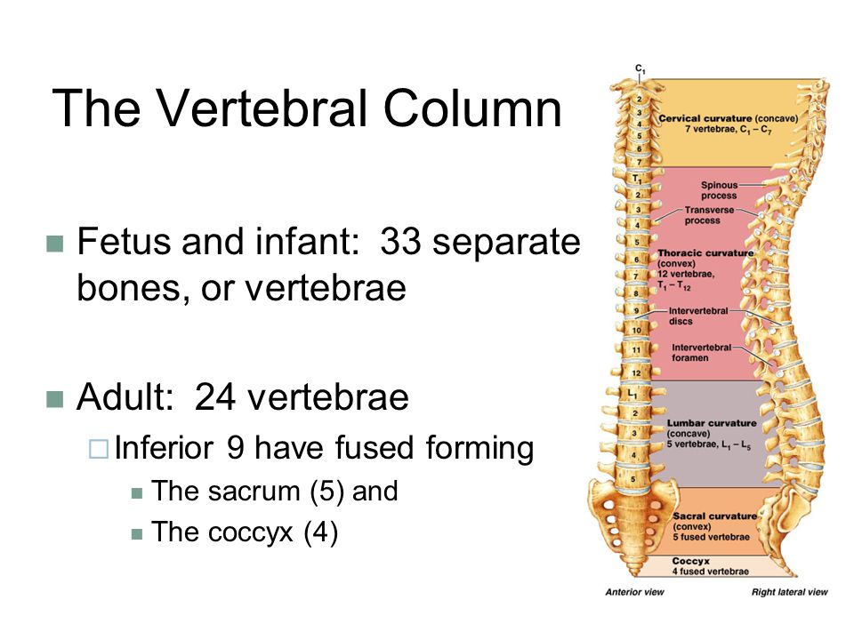 The Vertebral Column Fetus and infant: 33 separate bones, or vertebrae Adult: 24 vertebrae  Inferior 9 have fused forming The sacrum (5) and The coccyx (4)