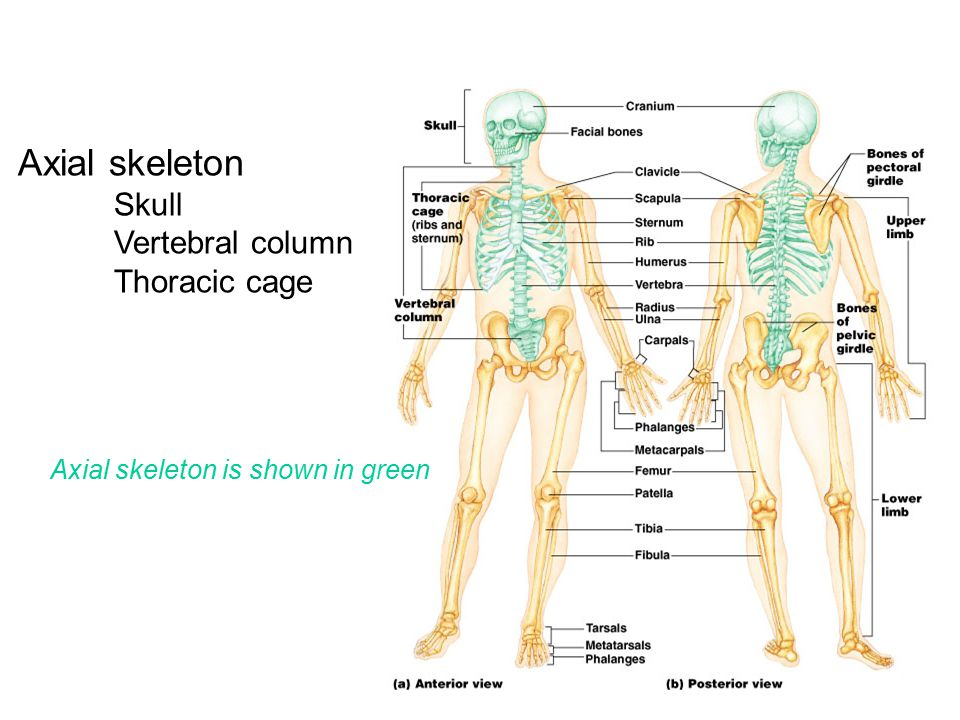 Axial skeleton Skull Vertebral column Thoracic cage Axial skeleton is shown in green