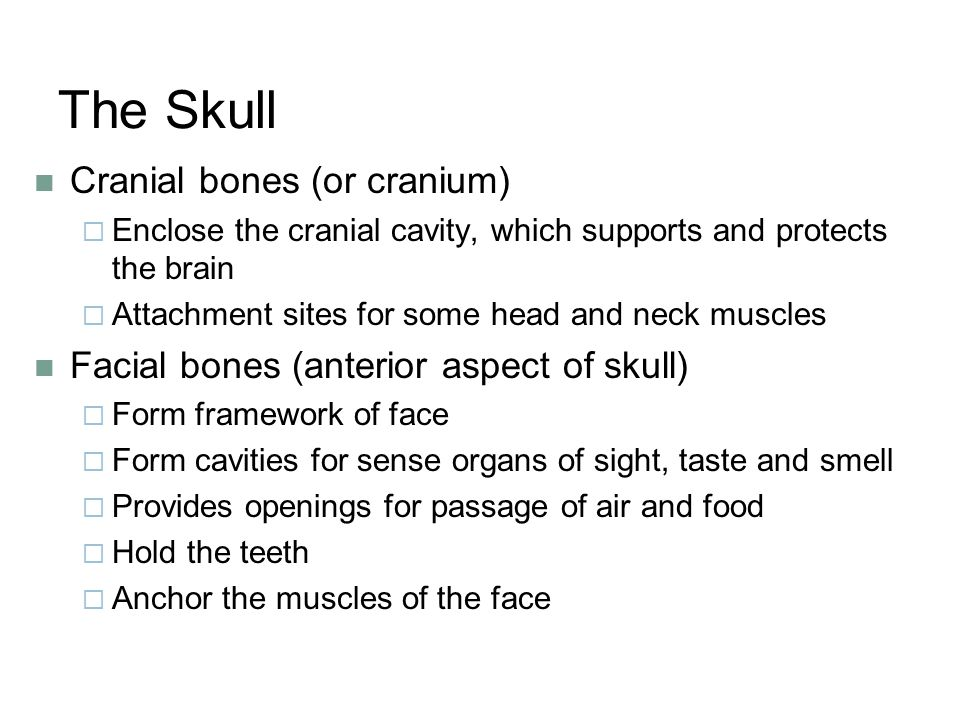 The Skull Cranial bones (or cranium)  Enclose the cranial cavity, which supports and protects the brain  Attachment sites for some head and neck muscles Facial bones (anterior aspect of skull)  Form framework of face  Form cavities for sense organs of sight, taste and smell  Provides openings for passage of air and food  Hold the teeth  Anchor the muscles of the face