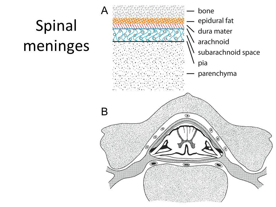 Spinal meninges A B