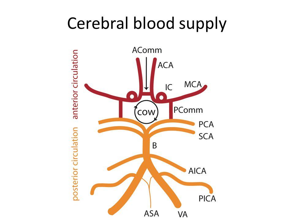 Cerebral vessels in situ