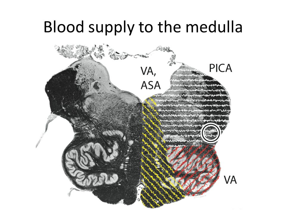 Blood supply to the pons