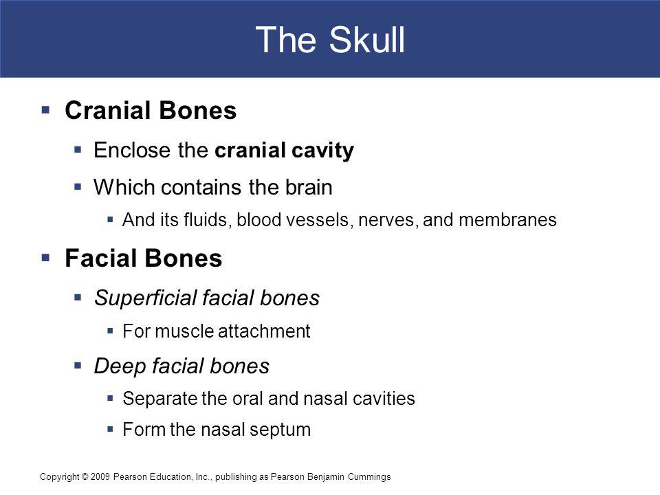 Copyright © 2009 Pearson Education, Inc., publishing as Pearson Benjamin Cummings The Skull  Cranial Bones  Enclose the cranial cavity  Which conta
