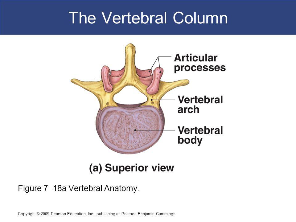 Copyright © 2009 Pearson Education, Inc., publishing as Pearson Benjamin Cummings The Vertebral Column Figure 7–18a Vertebral Anatomy.