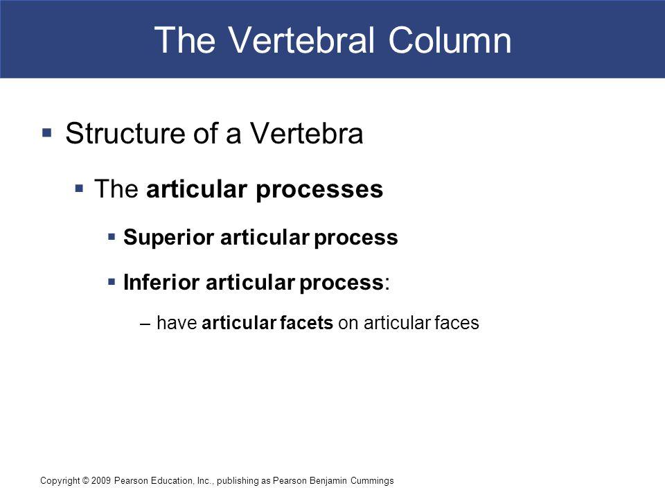 Copyright © 2009 Pearson Education, Inc., publishing as Pearson Benjamin Cummings The Vertebral Column  Structure of a Vertebra  The articular proce