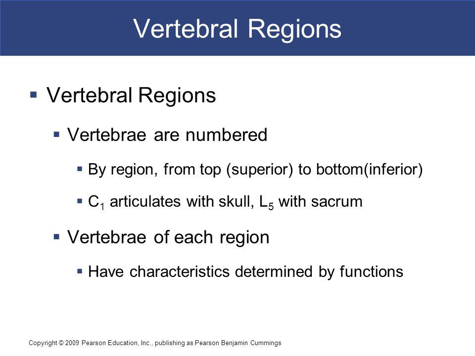 Copyright © 2009 Pearson Education, Inc., publishing as Pearson Benjamin Cummings Vertebral Regions  Vertebral Regions  Vertebrae are numbered  By