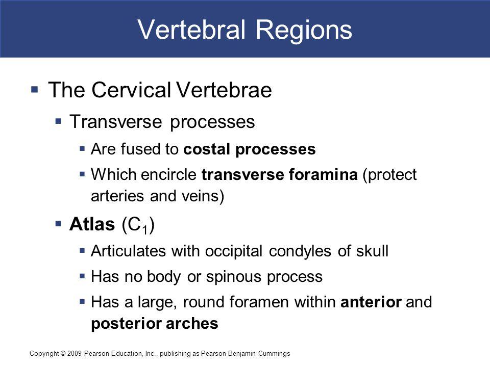 Copyright © 2009 Pearson Education, Inc., publishing as Pearson Benjamin Cummings Vertebral Regions  The Cervical Vertebrae  Transverse processes 