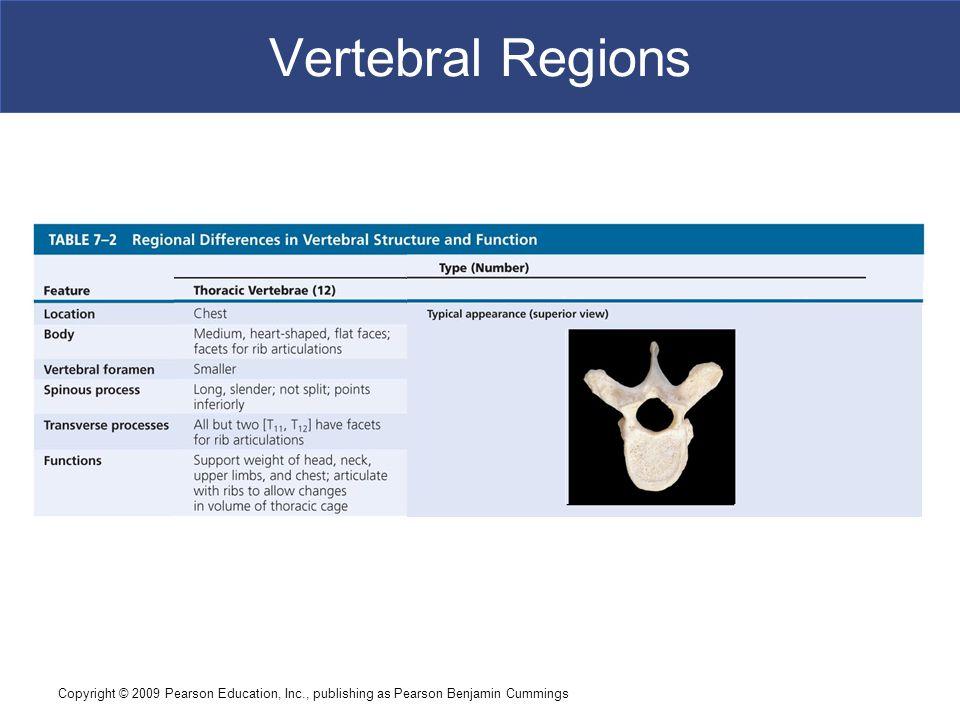 Copyright © 2009 Pearson Education, Inc., publishing as Pearson Benjamin Cummings Vertebral Regions