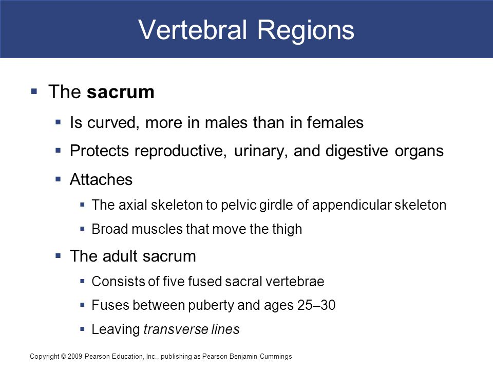 Copyright © 2009 Pearson Education, Inc., publishing as Pearson Benjamin Cummings Vertebral Regions  The sacrum  Is curved, more in males than in fe