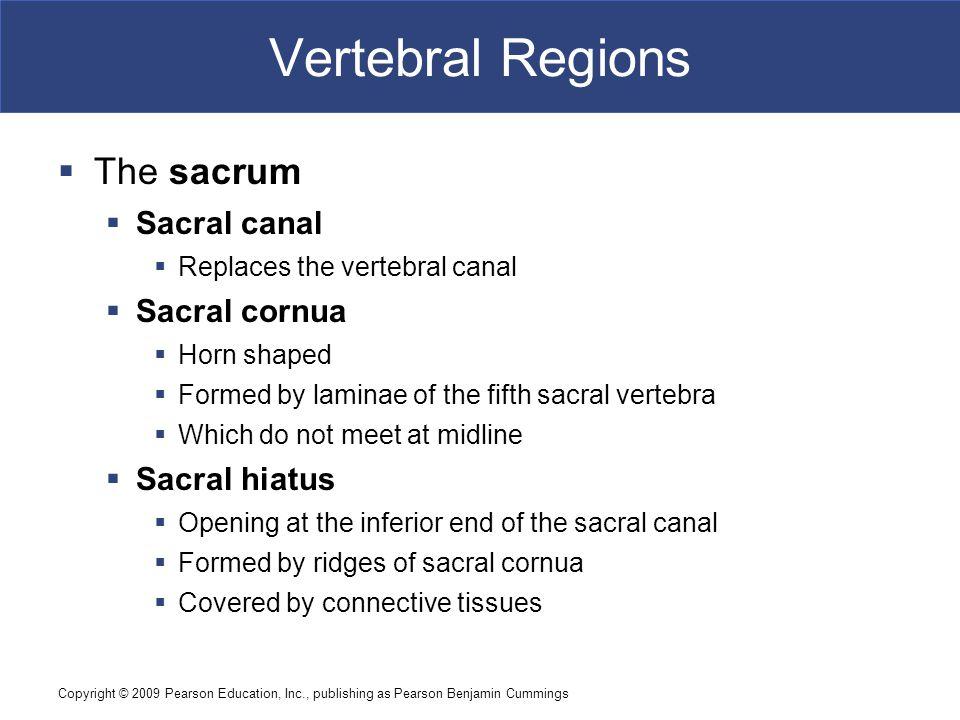 Copyright © 2009 Pearson Education, Inc., publishing as Pearson Benjamin Cummings Vertebral Regions  The sacrum  Sacral canal  Replaces the vertebr