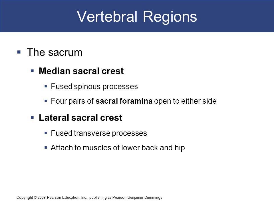 Copyright © 2009 Pearson Education, Inc., publishing as Pearson Benjamin Cummings Vertebral Regions  The sacrum  Median sacral crest  Fused spinous