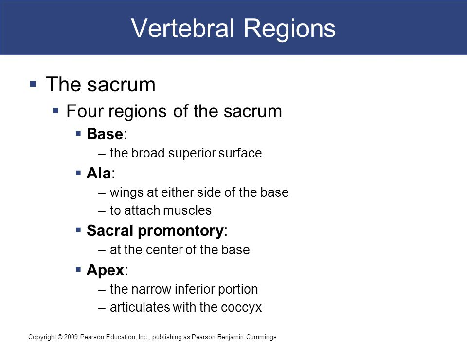 Copyright © 2009 Pearson Education, Inc., publishing as Pearson Benjamin Cummings Vertebral Regions  The sacrum  Four regions of the sacrum  Base: