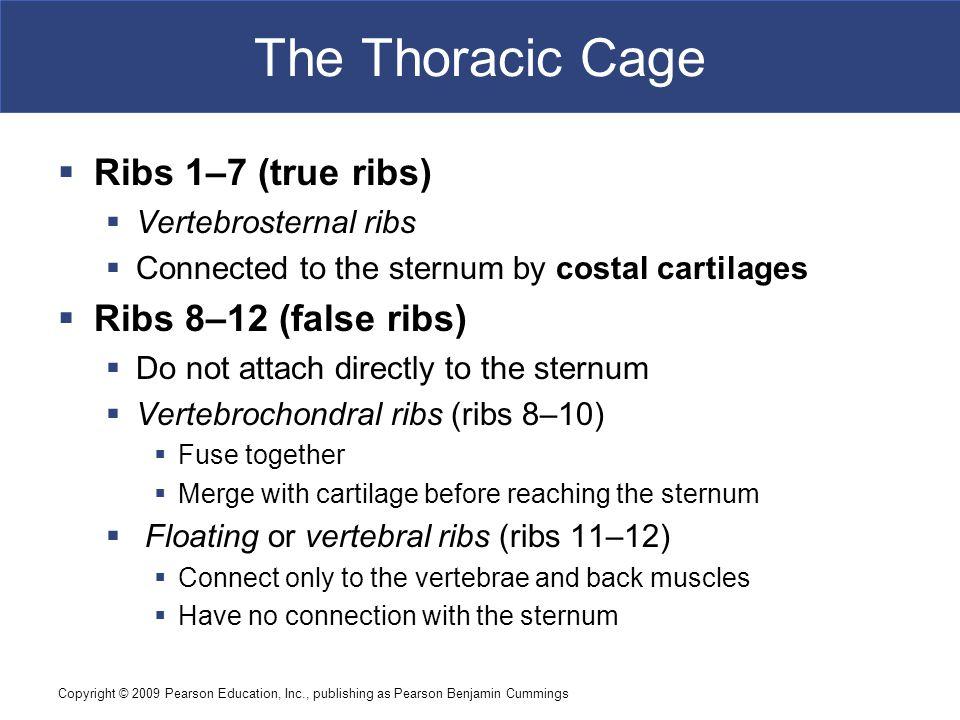 Copyright © 2009 Pearson Education, Inc., publishing as Pearson Benjamin Cummings The Thoracic Cage  Ribs 1–7 (true ribs)  Vertebrosternal ribs  Co