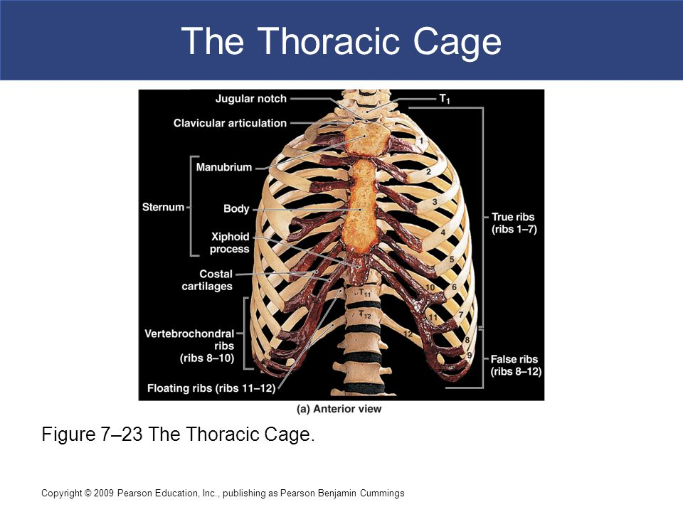 Copyright © 2009 Pearson Education, Inc., publishing as Pearson Benjamin Cummings The Thoracic Cage Figure 7–23 The Thoracic Cage.