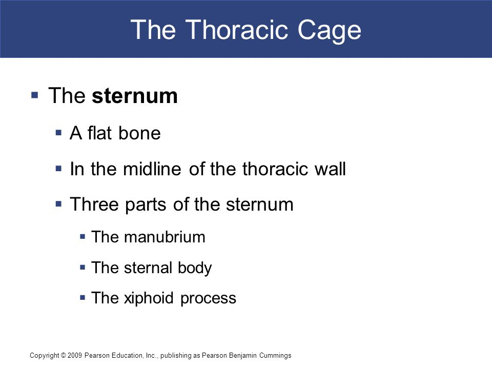 Copyright © 2009 Pearson Education, Inc., publishing as Pearson Benjamin Cummings The Thoracic Cage  The sternum  A flat bone  In the midline of th