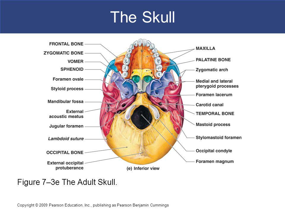 Copyright © 2009 Pearson Education, Inc., publishing as Pearson Benjamin Cummings The Skull Figure 7–3e The Adult Skull.