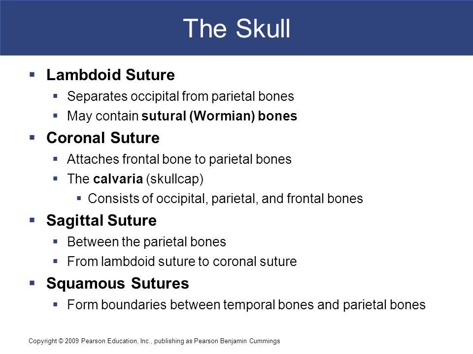 Copyright © 2009 Pearson Education, Inc., publishing as Pearson Benjamin Cummings The Skull  Lambdoid Suture  Separates occipital from parietal bone