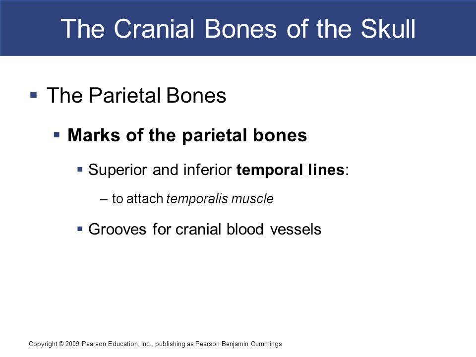 Copyright © 2009 Pearson Education, Inc., publishing as Pearson Benjamin Cummings The Cranial Bones of the Skull  The Parietal Bones  Marks of the p