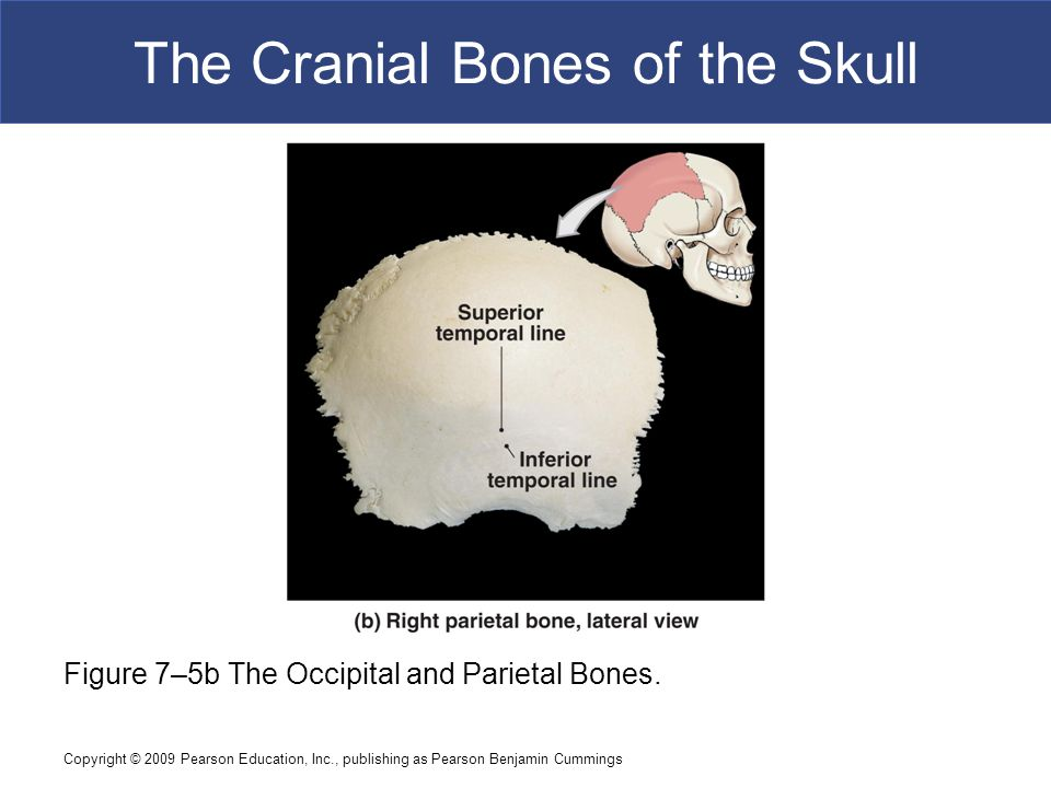 Copyright © 2009 Pearson Education, Inc., publishing as Pearson Benjamin Cummings The Cranial Bones of the Skull Figure 7–5b The Occipital and Parieta
