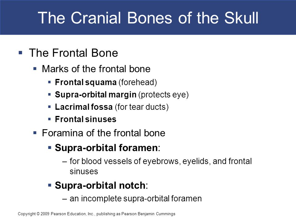 Copyright © 2009 Pearson Education, Inc., publishing as Pearson Benjamin Cummings The Cranial Bones of the Skull  The Frontal Bone  Marks of the fro