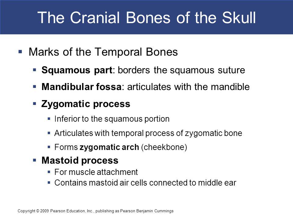 Copyright © 2009 Pearson Education, Inc., publishing as Pearson Benjamin Cummings The Cranial Bones of the Skull  Marks of the Temporal Bones  Squam