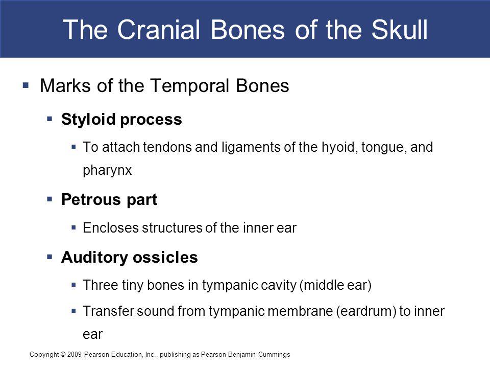 Copyright © 2009 Pearson Education, Inc., publishing as Pearson Benjamin Cummings The Cranial Bones of the Skull  Marks of the Temporal Bones  Stylo