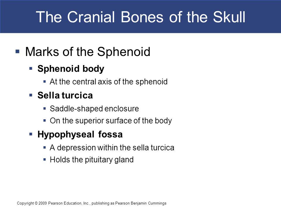 Copyright © 2009 Pearson Education, Inc., publishing as Pearson Benjamin Cummings The Cranial Bones of the Skull  Marks of the Sphenoid  Sphenoid bo