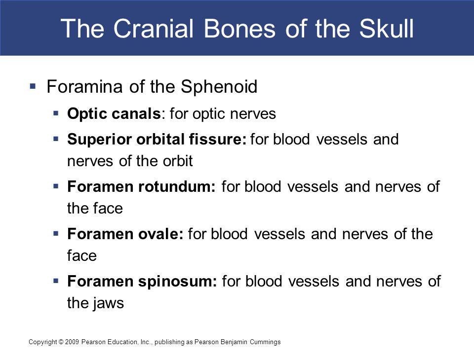 Copyright © 2009 Pearson Education, Inc., publishing as Pearson Benjamin Cummings The Cranial Bones of the Skull  Foramina of the Sphenoid  Optic ca
