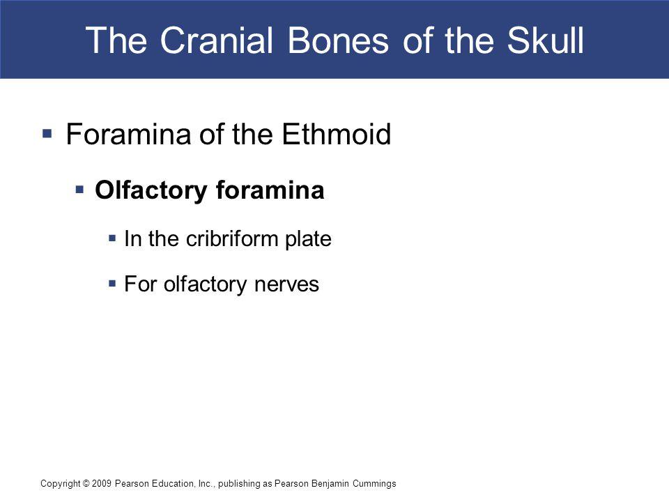 Copyright © 2009 Pearson Education, Inc., publishing as Pearson Benjamin Cummings The Cranial Bones of the Skull  Foramina of the Ethmoid  Olfactory