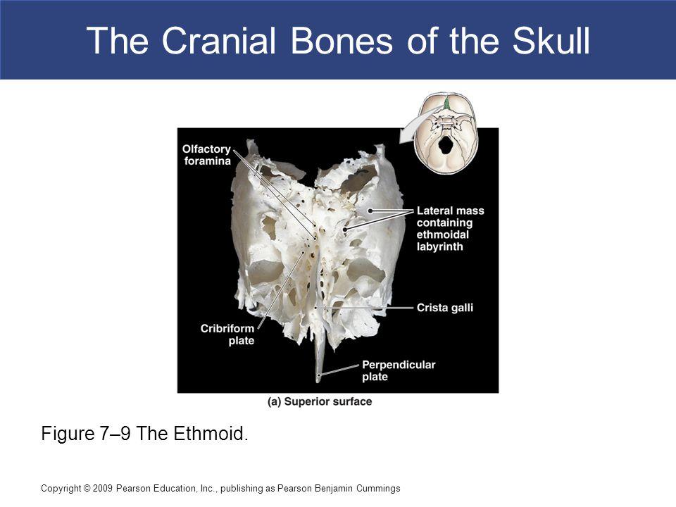 Copyright © 2009 Pearson Education, Inc., publishing as Pearson Benjamin Cummings The Cranial Bones of the Skull Figure 7–9 The Ethmoid.